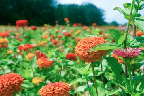 Free stock photo of field, field of flowers, flowers