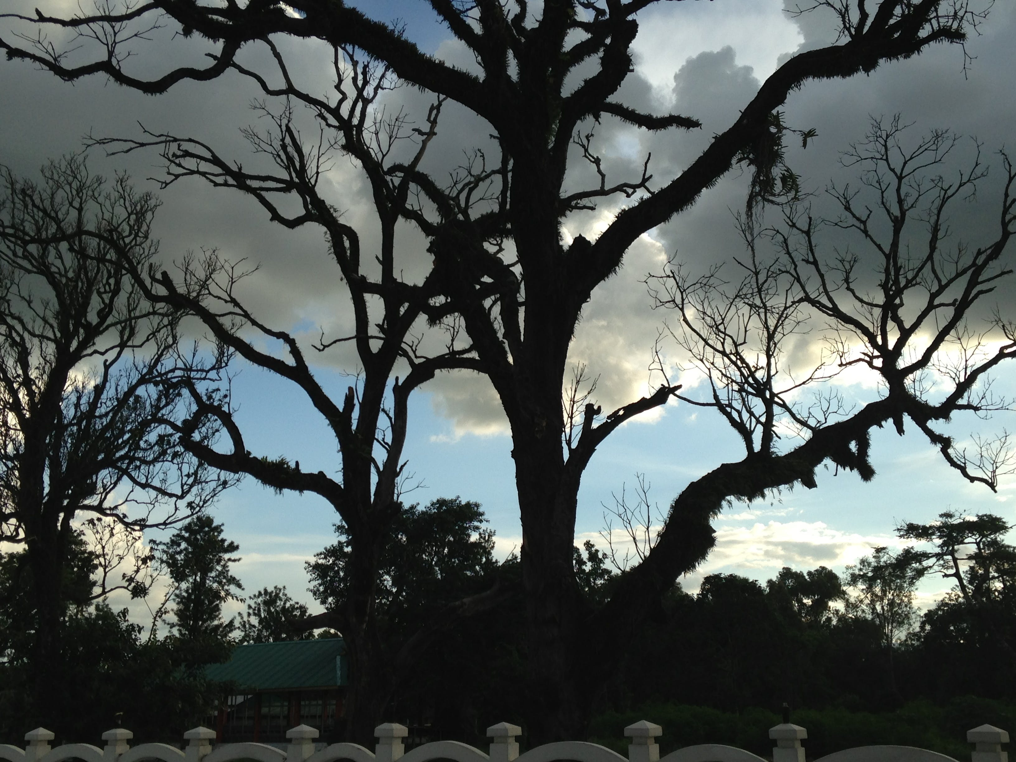 Free stock photo of beautiful plant, black tree, horrified, kangla