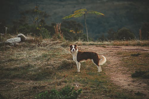 Brown and White Border Collie on the Field