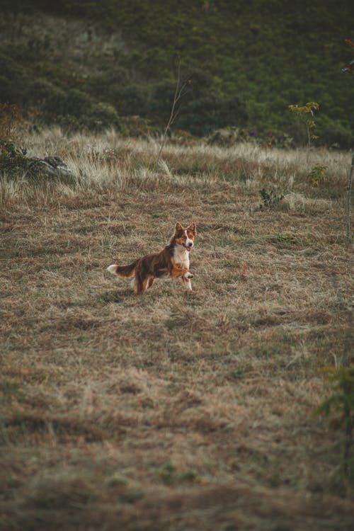 Короткошерстный коричневый и белый пес