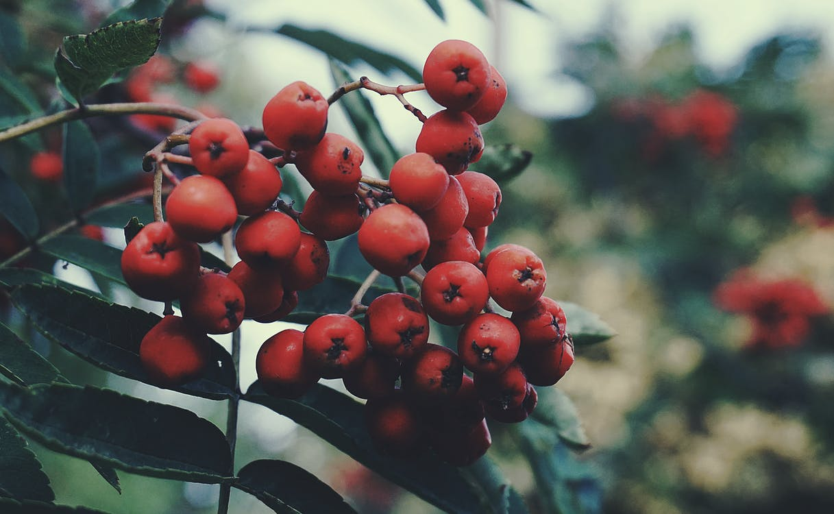 aske, bær, close-up