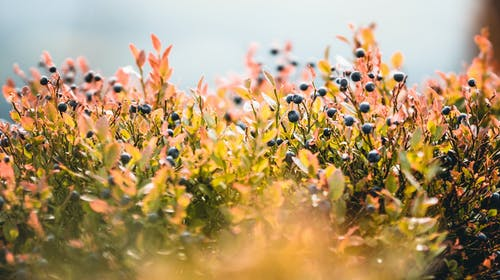 Kostenloses Stock Foto zu blaubeeren, draußen, farben, fokus