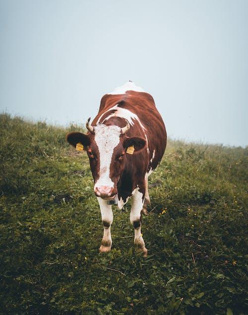 Ilmainen kuvapankkikuva tunnisteilla eläin, kasvu, katsominen, kenttä