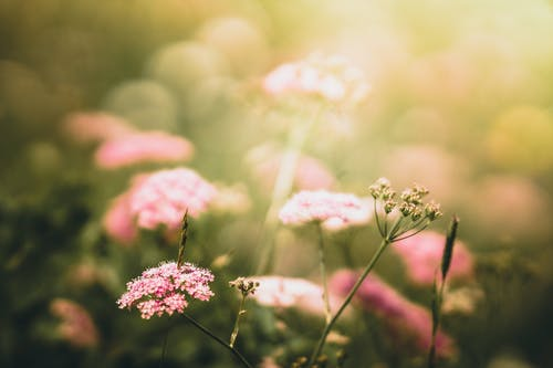 Selective Focus Photo of Pink-petaled Flowers