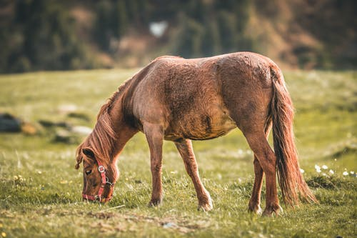 Selective Focus Photo of Brown Horse Eating Grass