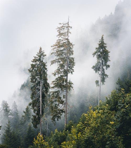 Безкоштовне стокове фото на тему «вічнозелений, гора, дерева, імла»