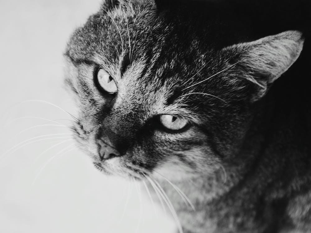 beest, bicolor kat, dier