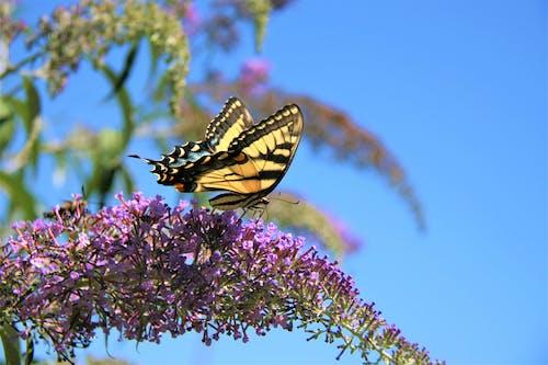 Ingyenes stockfotó pillangó, pillangó bokor, pillangó egy virágon témában