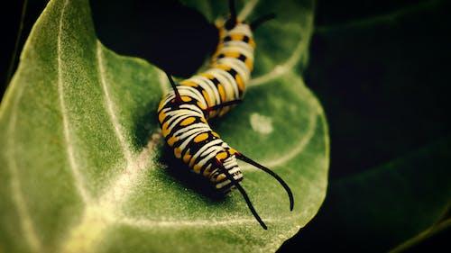 crowling, 昆虫的生活, 毛蟲, 特寫 的 免费素材照片