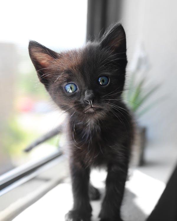 Cute Short-fur Black Kitten With Blue Eyes