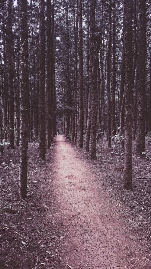 Foto d'estoc gratuïta de arbres, arbres alts, camí forestal, coberta forestal