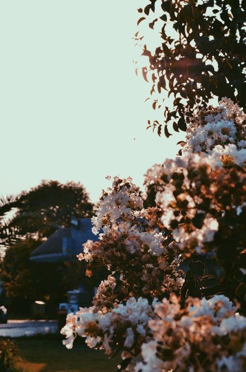 Foto d'estoc gratuïta de flors blanques, ازهار متفتحة, حديقة الزهور, زهار جميلة