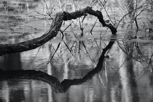 Ingyenes stockfotó ág, fekete-fehér, lagúna, víz témában