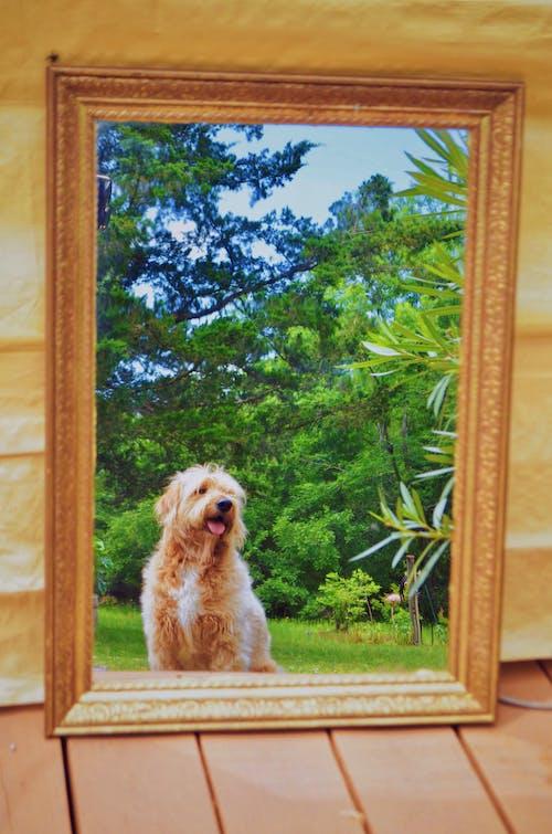 Бесплатное стоковое фото с goldendoodle, зеркало, золотой болван, отражающий