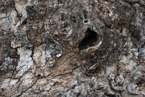Free stock photo of bark, tree bark