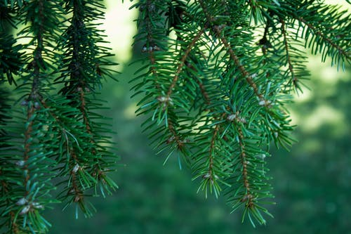 Free stock photo of fir tree, green, leaves, tree