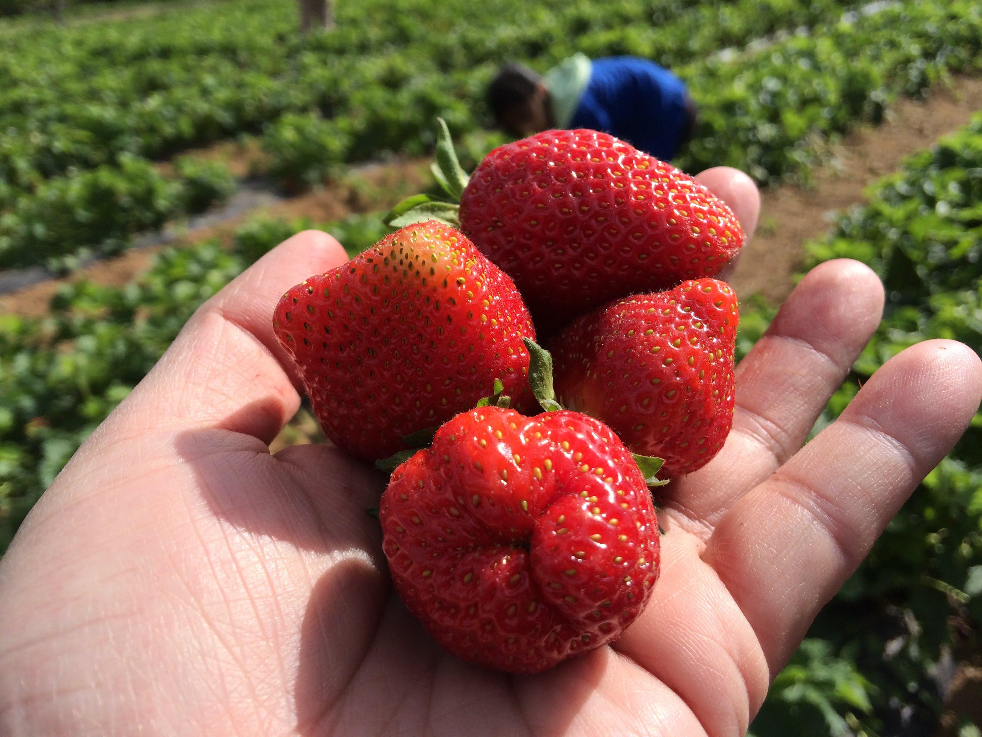 Free stock photo of closeup of Strawberries, freshly plugged strawberries, See my strawberries, strawberries