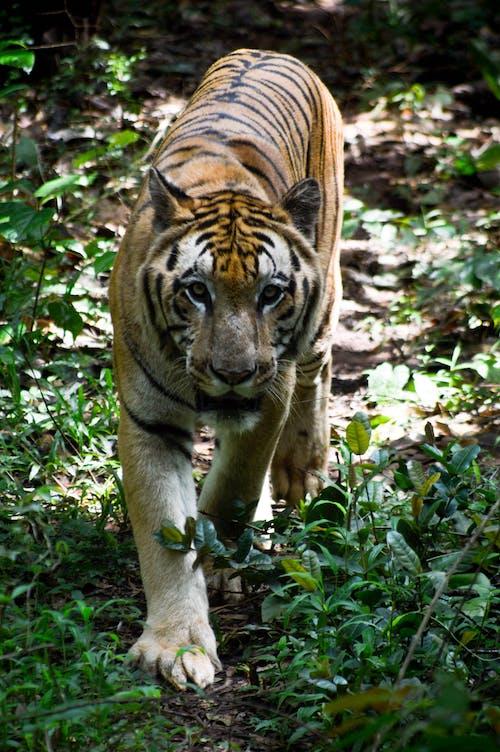 Ingyenes stockfotó bengáli tigris, macska, nagy macska, tigris témában