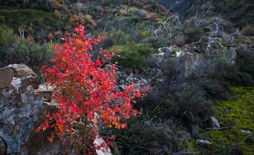 Kostenloses Stock Foto zu ahorn, rote ahornblätter, ruinen
