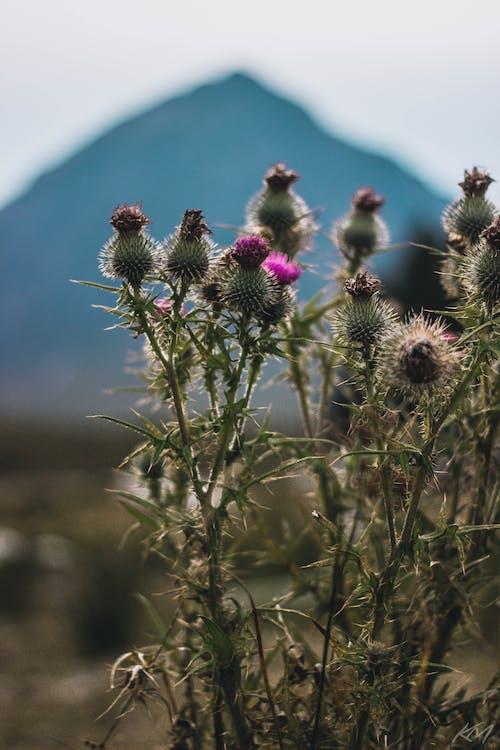 Gratis lagerfoto af bjerg, blomst, glencoe, national blomst