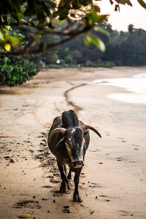 ビーチ, ブル, 動物の無料の写真素材