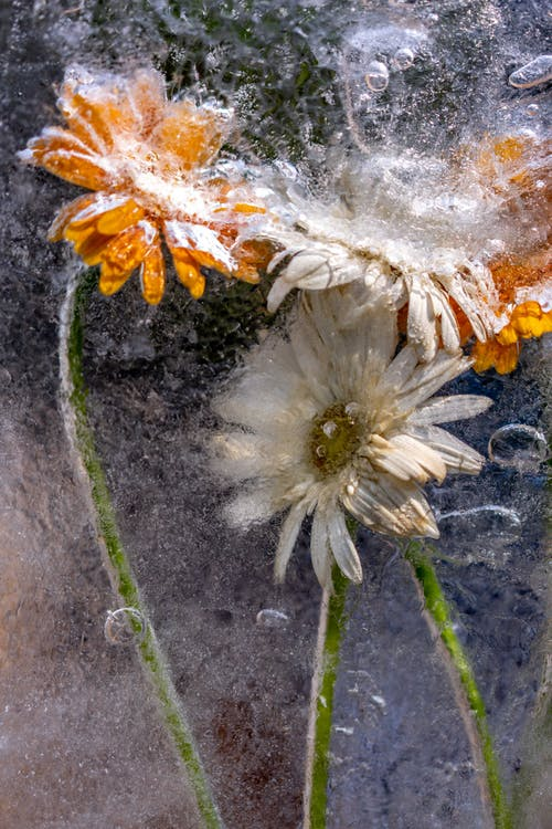 Free stock photo of #mobilechallenge, artificial flowers, beautiful flower, ice