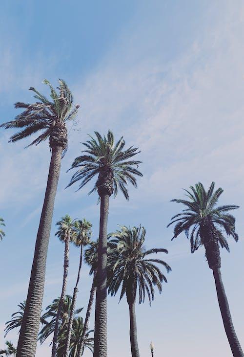 Ilmainen kuvapankkikuva tunnisteilla asetelma, Kalifornia, kuva alakulmasta, palmupuut