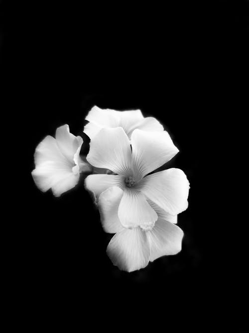 Black and White Photograph of Flowers
