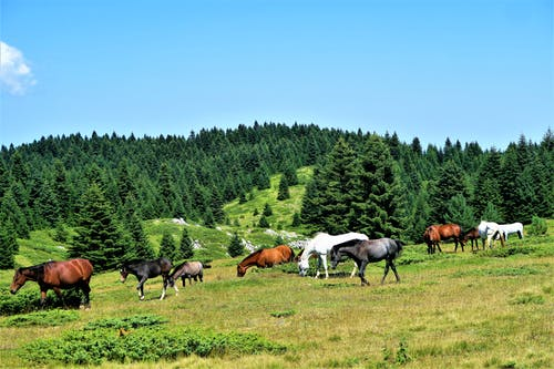 Herd of Horse Grazing On Grassland