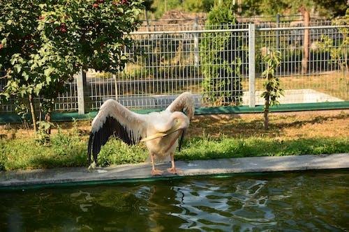 ペリカン, 動物, 動物の写真, 動物学の無料の写真素材