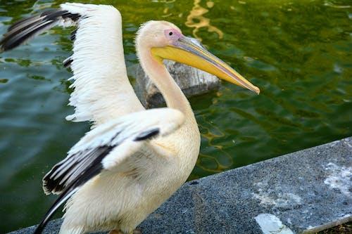 Gratis arkivbilde med dyr, pelikan, zoologi