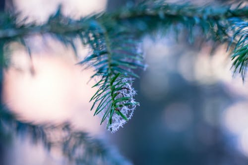 Selective Focus Photography of Pine Tree With Snow Flakes
