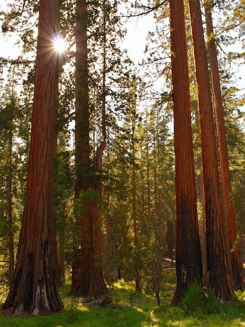 Immagine gratuita di abbaiare, abeti, alberi, alto
