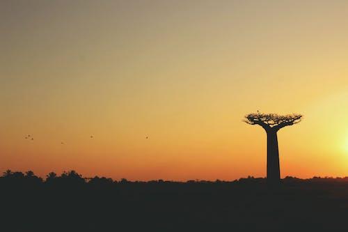 Imagine de stoc gratuită din 2k17, apus, baobab, frumos apus