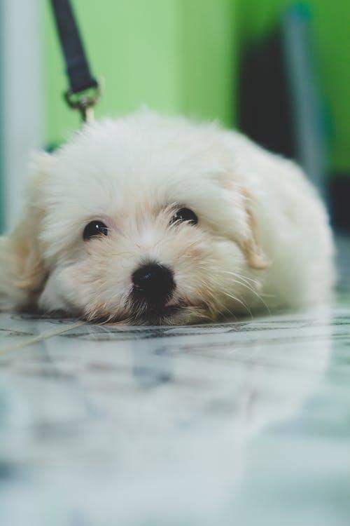 beyaz, çok sevimli, dil, Evcil Hayvan içeren Ücretsiz stok fotoğraf