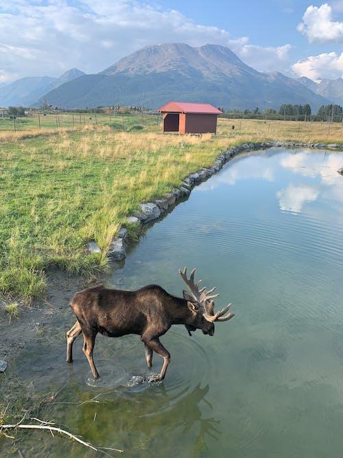 무스, 알래스카의 무료 스톡 사진