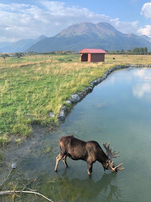 무스, 알래스카, 야생동물의 무료 스톡 사진