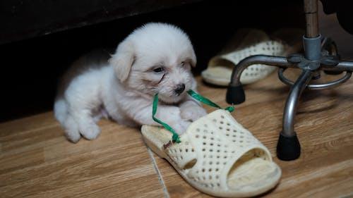 Free stock photo of baby dog, cute, tong, white dog