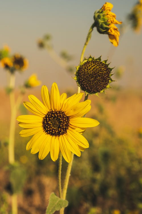 Close-Up Photo Of Sunflower During Daytime