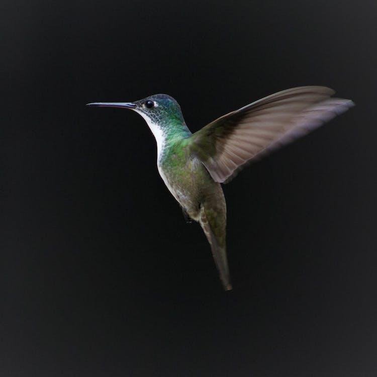 Fotos de stock gratuitas de animal, aviar, colibrí