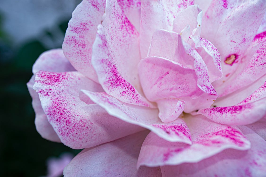 꽃, 꽃잎, 닫다