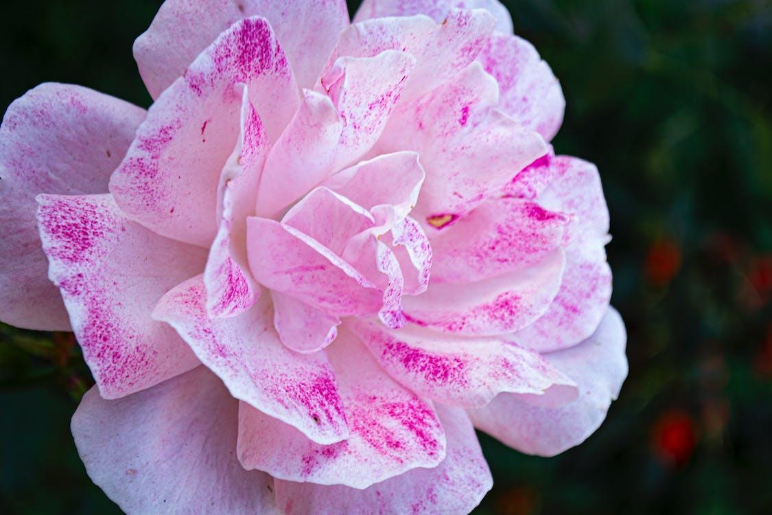 amor, detail, flor