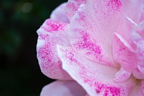 Imagine de stoc gratuită din amor, aproape, dragoste, floare