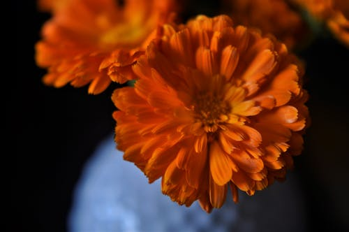 Free stock photo of beautiful flower, calendula, flower