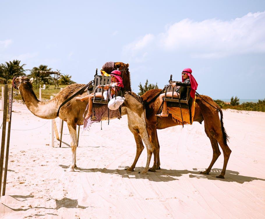arabské velbloudy, Brazílie, cestování