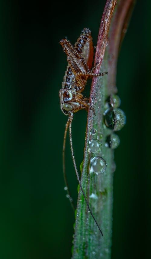 Kostnadsfri bild av gräshoppa, insekt, makro