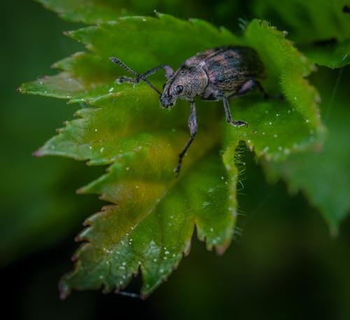 Kostnadsfri bild av insekt, makro, vivel