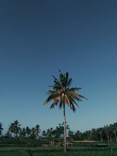 印尼, 棕櫚樹, 椰子樹, 樹 的 免费素材照片