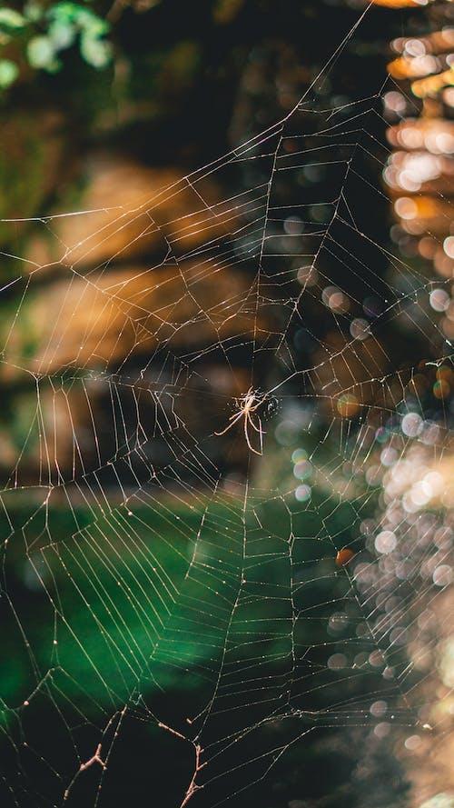 Web, 蛛網, 蜘蛛, 陷阱 的 免費圖庫相片