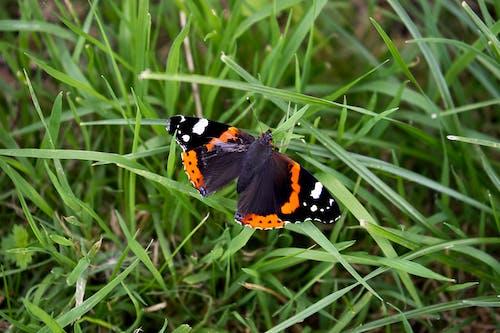 Immagine gratuita di ammiraglio rosso, erba, farfalla, insetto